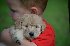 Crockett Doodles - Family Raised Doodle Puppies for Sale Mini Goldendoodle Puppies, Bernedoodle Puppy, Goldendoodle Miniature, Miniature Dachshunds, Goldendoodles, Maltipoo, Baby Animals, Funny Animals, Cute Animals