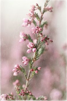 Pink heather: January through September  $