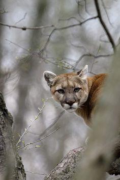 Cougar (by Tim Lester). #Wildlife #Cougar