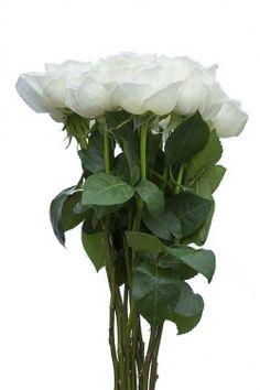 Jeanne Moreau Garden Rose