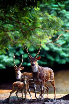 A deer family paused in the forest.