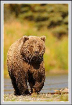 Brown bear, Brooks River, Katmai National Park, Alaska. Stock photo of brown bear - Grizzly bear (brown bear, Ursus arctos) walks along a gravel bar in early morning light, looking for spawning Sockeye Salmon, Katmai national Park, Alaska. Brooks Rive brown bear photo