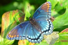 Attracting Butterflies: RED Spotted Purple -- The RED spots are much more obvious in the right light.