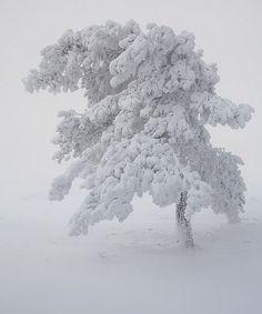so beautiful / winter tree snow Winter Szenen, I Love Winter, Winter Magic, Winter White, Winter Christmas, Winter Trees, Snow Trees, Snow White, White On White