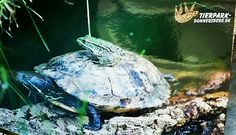 Schildkröten Taxi