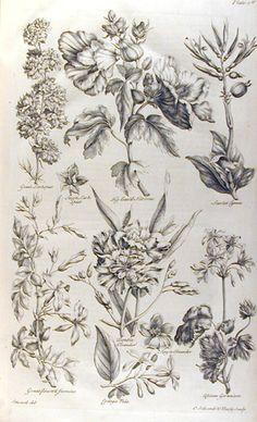 botanical drawing by John Hill