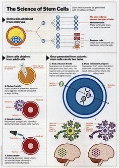 Stem cells infographic
