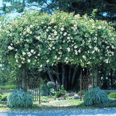 Climbing roses ~ I want my roses to do that!!!