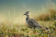 Dotterel by Luca Montipo on 500px