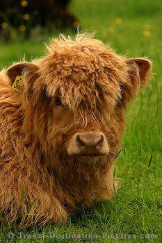 highlander cattle - love these hairy guys :)