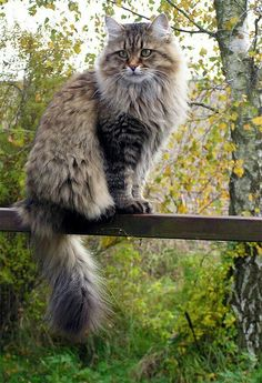 Siberian Cat - As the name suggests, they come from Siberia, one of the hardest climate zones of Russia. Thought she was a Maine Coon, but maybe she's Siberian. Fluffy Cat Breeds, Large Cat Breeds, All Cat Breeds, Cute Cat Breeds, Pretty Cats, Beautiful Cats, Pretty Kitty, Beautiful Pictures, Big House Cats