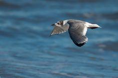 Foto gaivota-de-franklin (Leucophaeus pipixcan) por Paulo Fenalti   Wiki Aves -