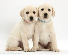 Dogs: Yellow Labrador Retriever puppies, 8 weeks old photo - Black Lab Puppies, Cute Puppies, Adorable Dogs, Dog Pond, Cute Cats And Kittens, Black Kittens, White Labrador, Cute Puppy Pictures, Guide Dog