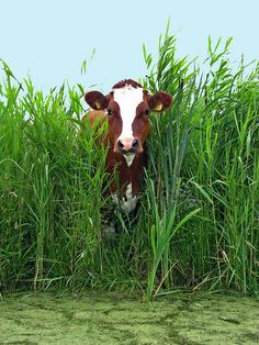 One cow crossing the field | #agriculture #cattle #cow