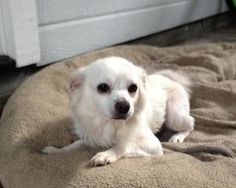 Gunther is an adoptable Chihuahua Dog in Hillsborough, NH.  Gunther is a lovely 6 year old, 9 pound long haired Chihuahua he might have a long haired breed like Pom in him, or he may be a long haired ...