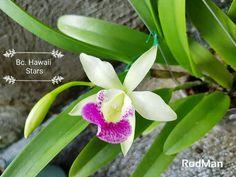 Bc. Hawaii Stars. Photo Rod Man