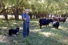 Retired archaeologist Michael Trotter has a real soft spot for rare-breed animals, in particular dun Dexter cattle and Arapawa goats. He has a small herd of each at his rural property at Tuahiwi in North Canterbury. Dexter Cattle, Canterbury, Archaeology, 18th Century, Goats, Hunting, Cook, Island, Life