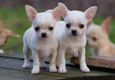 •♥•✿ڿڰۣ(̆̃̃•Aussiegirl  #Adorable #Chihuahua