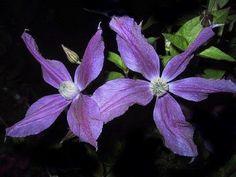 Blooms come in 4 petals to 5 petals,intense purple.  Harlowe Carr