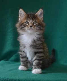 Maine coon kittens for sale in illinois