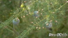 Asparagus setaceus - Aspargo-samambaia (Asparagoideae)