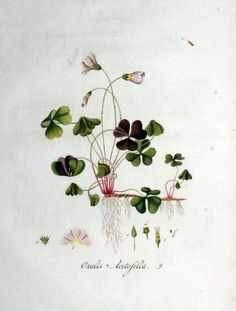 Several stunning botanical clover images (at bottom of page).