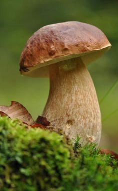 Die besten Tipps für die Pilzsaison -  Im Herbst ist wieder Pilzsaison – bei einem Herbstspaziergang sollte also der Korb nicht fehlen. Pilze sind lecker, gesund und kalorienarm, aber Vorsicht ist angebracht: Sammeln Sie nur Arten, die Sie kennen und lassen Sie Ihren Fund im Zweifelsfall von einer Pilzkontrollstelle nachprüfen.