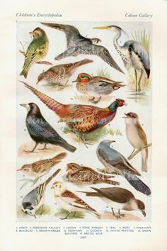 Vintage Bird Print Natural History Antique Illustration Bird feathers Pheasant Falcon Thrush Rook Feathers Gull. $10,50, via Etsy.