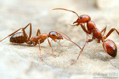 Formica incerta (à esquerda), com um parasita social e seqüestrador, a formiga Polyergus lucidus. Leste Brooklyn, Illinois, USA.