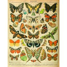 A butterfly print from a vintage French encyclopedia from the Victorian era. Description from etsy.com. I searched for this on bing.com/images