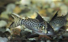 Corydoras Leucomelas / Pantsermeerval | Aquarium vissen database | gdaquarium