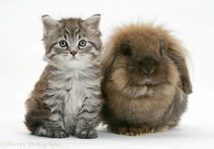 maine coon cats | Maine Coon kitten and rabbit