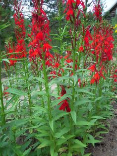 Cardinal Flower plant (Lobelia cardinalis) is named for its beautiful scarlet red flowers which are an important nectar source for hummingbirds and swallowtail butterflies