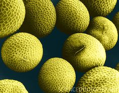 Mustard Seeds (SEM)