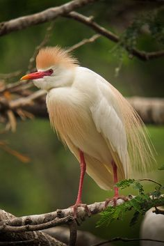 Cattle Egret - Cattle Egrets stalk insects and other small animals on the ground in grassy fields. They are much less often seen in water than other herons. They nest in dense colonies of stick nests in trees or emergent wetlands, often mixed with other species of herons.