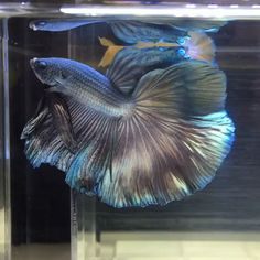 A Giant Copper Halfmoon Tail Betta Fish Pretty Fish, Cool Fish, Beautiful Fish, Beautiful Tropical Fish, Beautiful Pictures, Beautiful Sea Creatures, Animals Beautiful, Betta Fish Tank, Baby Betta Fish