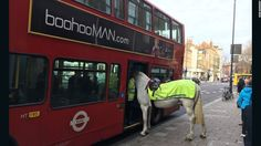 awesome Horse tries to board London bus
