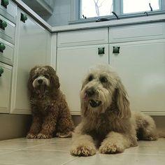 #ziggy #penny #yawns #dogs #thedoggiechalet