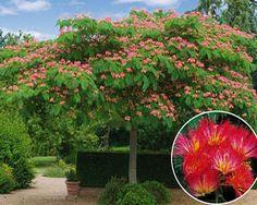 ALBIZIA ROUGE DE TUILIERE® : L'arbre de soie à fleurs rouges !