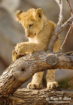 What's this...? Lion cub...