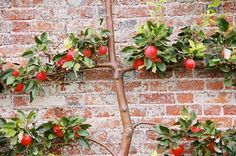 Apple espalier on brick wall.