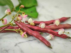 Here's another beautiful selection from the late Robert Lobitz, the Minnesota bean man. This is the most unique colored bean we have seen, nearly a true red shade on the thick, flavorful pods. Lovely pink flower, too! A wonderful variety that is so pleasi