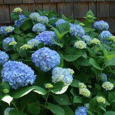 plantes d'ombre dans le jardin- conseils et photos- hortensia bleu Hydrangea