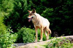 Parc animalier des Monts de Guéret Les Loups de Chabrières | Vacances, Tourisme Creuse Limousin