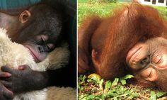 We're feeling so sleepy... Adorable baby orangutans take a well-earned nap #DailyMail