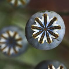 poppy seed pods by James Drury