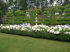 strong annabelle Annabelle Hydrangea, Garden Deco, Garden Landscape Design, White Gardens, Fence Design, Hedges, Garden Inspiration, Backyard Landscaping, Beautiful Gardens