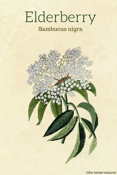 The Medicinal Herb Elderberry (Sambucus nigra)