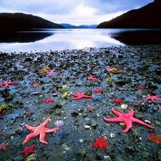 The colony of sea stars, West Coast, New Zealand.