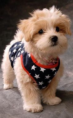 patriotic puppy ✿⊱╮Happy 4th dear cottage friends !!!!!: